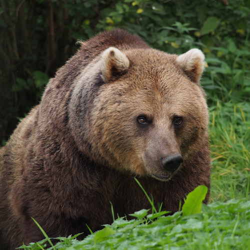 Romania's forests are home to wildlife that have been extirpated from elsewhere in Europe, like the European brown beat (Ursus arctos arctos).