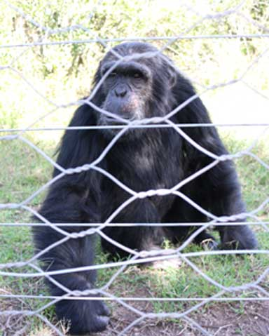Max, a chimpanzee rescued from Burundi. It could take up to 2 years for the greater chimpanzee community, especially other males, to accept Manno. Photo by Geoffrey Kamadi
