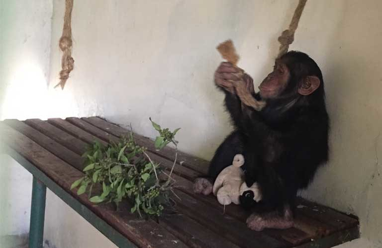 1.Manno the chimpanzee after his rescue. He is one of the lucky ones. An estimated 3,000 great apes are trafficked annually, ending up in private zoos, collections or circuses around the globe. Photo courtesy of Sweetwaters Sanctuary