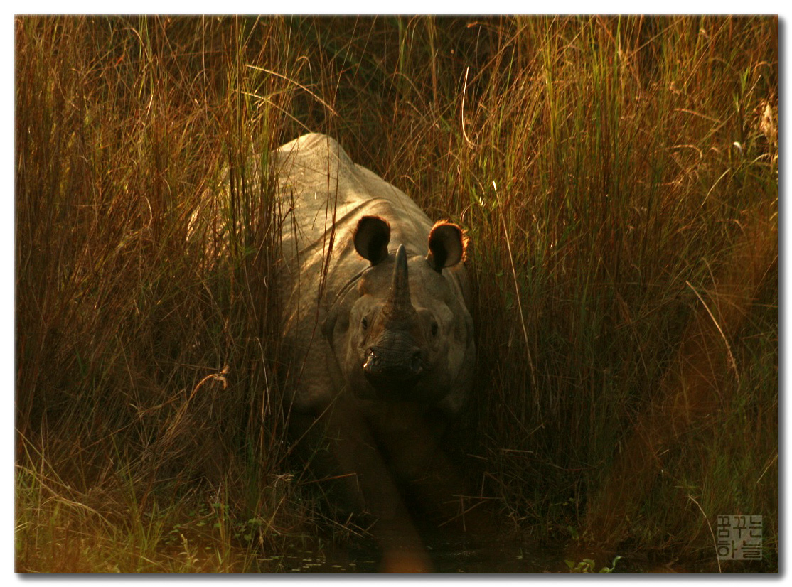 Greater one-horned rhino in Nepal's Chitwan National Park. Photo by Dhilung Kirat/Flickr.