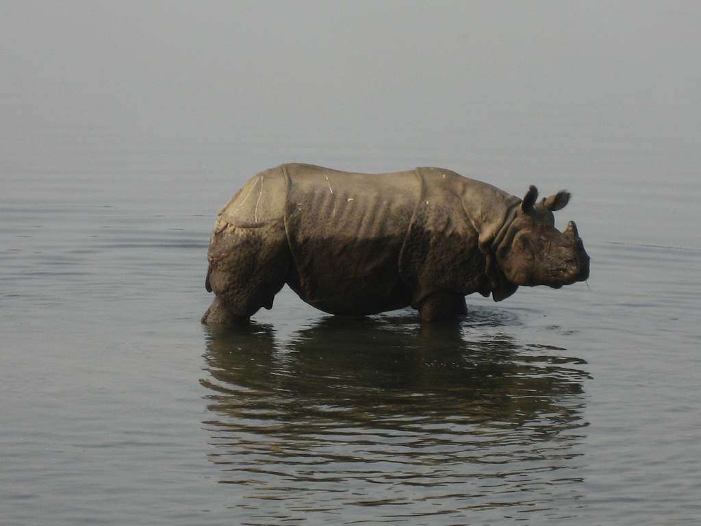 A rhino takes a dip in Nepal. Photo by Wonker/Flickr.