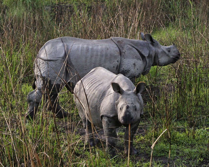 A greater one-horned rhino and calf, photographed in India's Kaziranga park. Photo by Lip Kee/Flickr.
