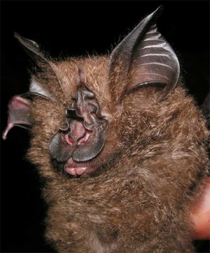 Asia's newest bat species: Francis' woolly horseshoe bat in Thailand. Photo by Pipat Soisook