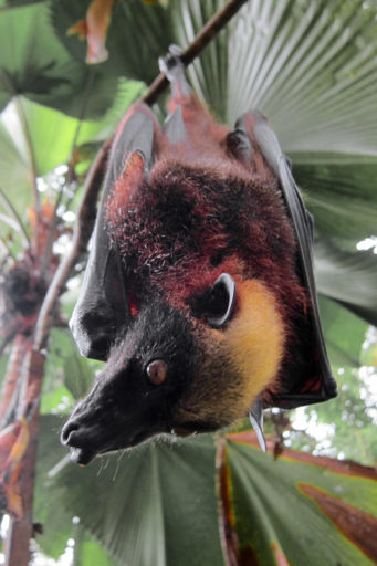 Asia's golden-crowned flying fox is the world's largest bat. It is also threatened. Photo by Gregg Yan licensed under the Creative Commons Attribution-Share Alike 3.0 Unported license