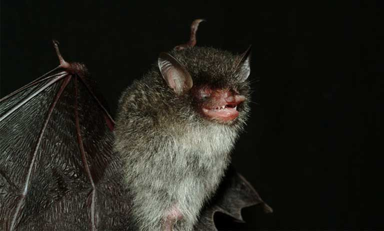 The beelzebub tube-nosed bat was only discovered in 2011 in the Greater Mekong Region. It still has yet to be evaluated by the IUCN Red List. Photo by Gabor Csorba/Creative Commons 3.0