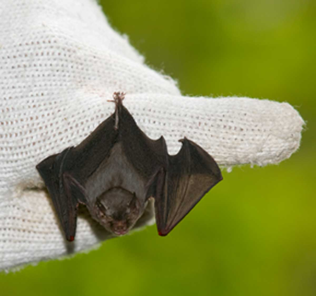 Vanishing point: Bumblebee bat is world's smallest; it's also at risk