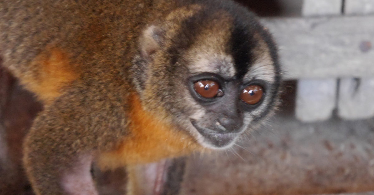 A nocturnal monkey or Musmuqui (Aotus nancymae) in the house of the presumed trafficker. Photo by Dan Collyns