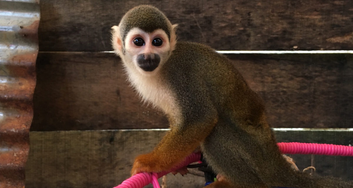 A squirrel monkey in the house of the presumed trafficker. Photo by Dan Collyns