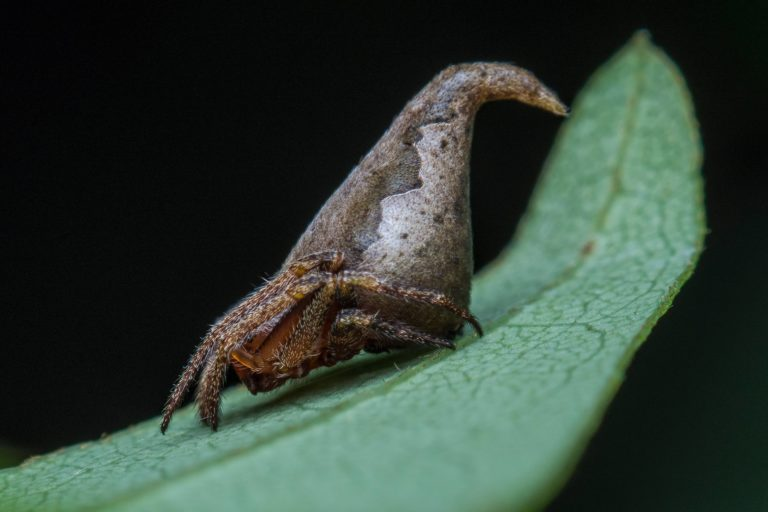 Eriovixia gryffindor, a new species of spider was discovered in Karnataka. India. Photo credit: Sumukha J. N.