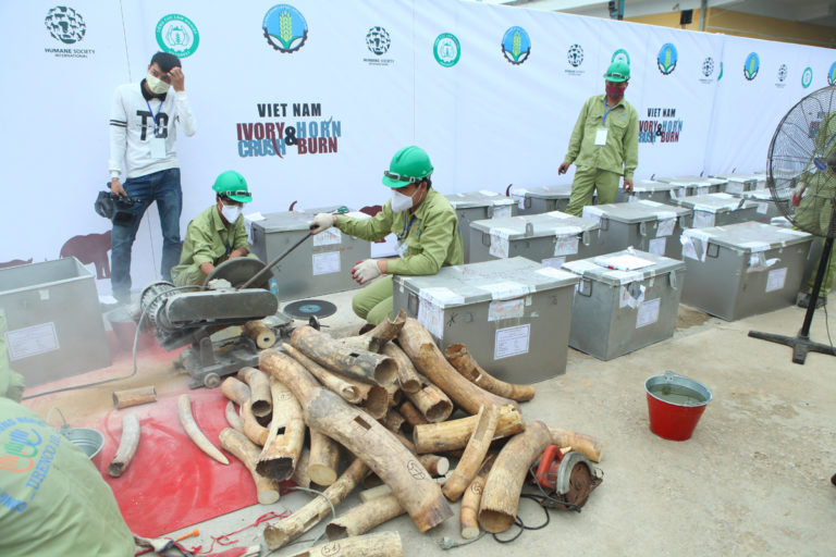 With elephants and rhinoceroses facing an increasing poaching crisis, Viet Nam, with the help of Humane Society International, destroyed 2,177.5 kg of elephant ivory, 70.1 kg of rhinoceros horns, together with a number of specimens from wild tiger and bear, that were confiscated from the illegal trade. The destroyed ivory and horn - estimated to be worth more than USD 7 million - came from the slaughter of an estimated 330 African elephants and 23 rhinos. Humane Society International, Wildlife Trade, Protect Wildlife