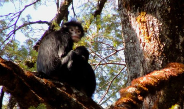 Mother and infant of Myanmar snub-nosed monkey in the newly discovered population in Luoma, China, near the border with Myanmar. Photo from Yang et al 2016.