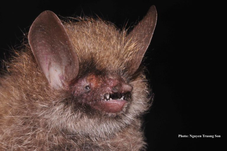 New bat (Murina kontumensis). Photo by Truong Son Nguyen.