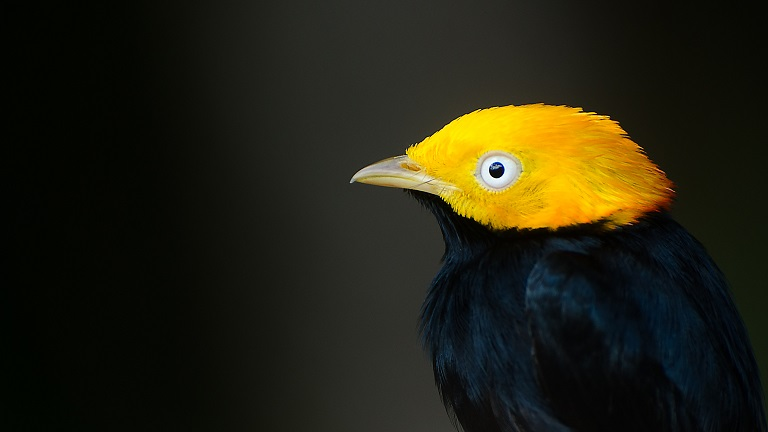 Golden-headed manakin bird at the Canopy Walkway in Iwokrama. Photo by Meshach Pierre