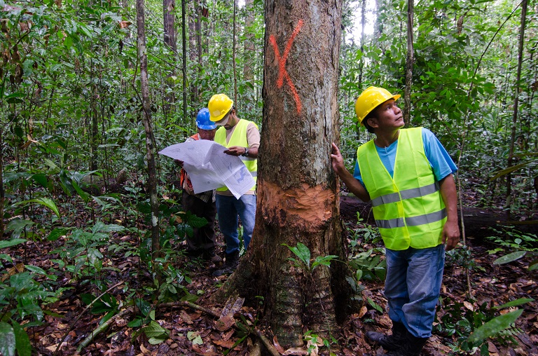 Marking trees to be felled in the Iwokrama forest. Photo by Meshach Pierre