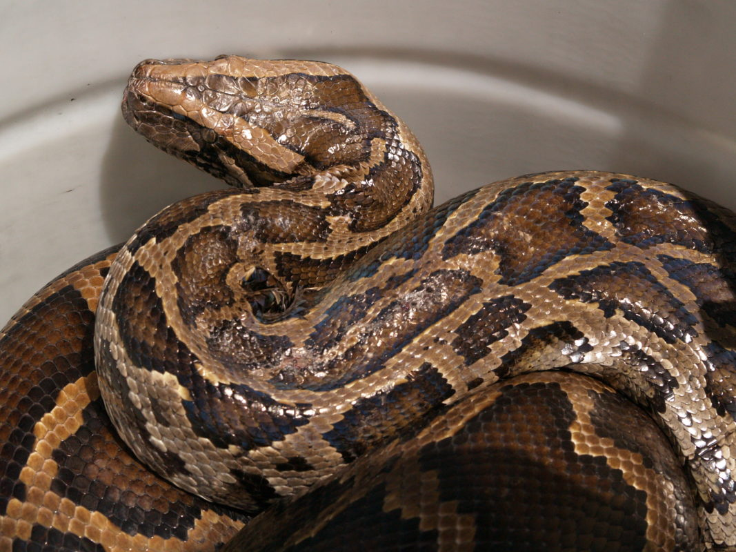 Native to Southeast Asia, the Burmese python is an invasive organism with ramifications for biodiversity in Florida. Photo credit: NISC.