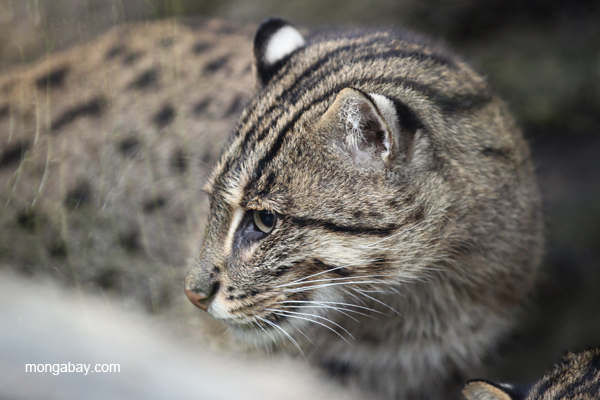 Fishing cat researchers are hoping that this small cat will receive a big boost in funding in order to study it better and conserve it. Photo by Rhett A. Butler