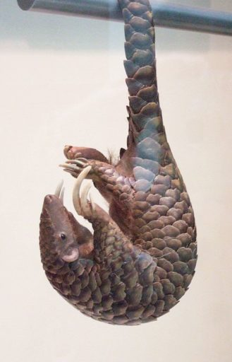 A pangolin hangs upside down. A revolutionary new type of modular transmitter would attach to the animal's scales and travel with it into the trees and below ground, relaying data for up to five months. Photo by verdammelt licensed under the Creative Commons Attribution-Share Alike 2.0 Generic license
