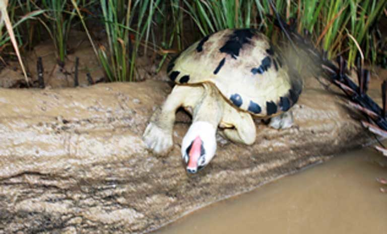 A painted terrapin male in its stunning breeding colors, basks on river log. Photo courtesy of the Satucita Foundation