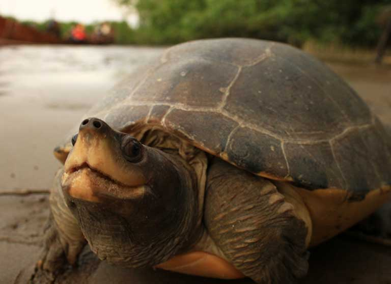 A female painted terrapin on river bank. Photo courtesy of the Satucita Foundation