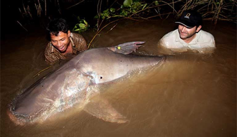 Zeb Hogan releases a tagged Giant Mekong catfish into the Mekong River in 2007. Photo © Zeb Hogan, University of Nevada, Reno