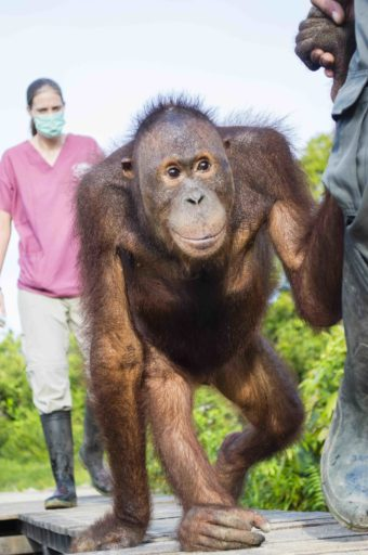 Johnny, like other rescued orangutans, spent more than 4 years being rehabilitated. Photo courtesy of International Animal Rescue.