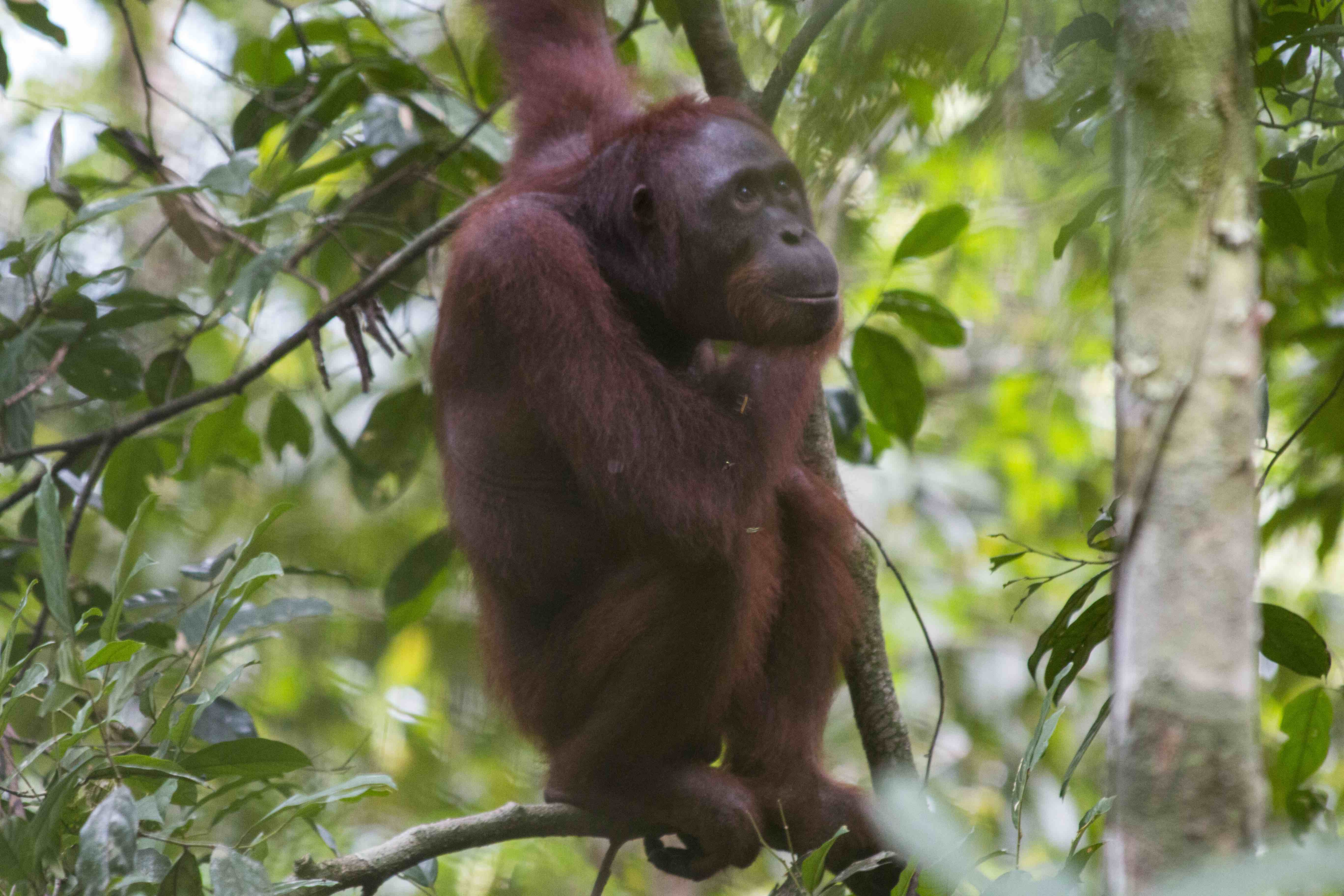 Video: Two rescued pet orangutans return to the wild