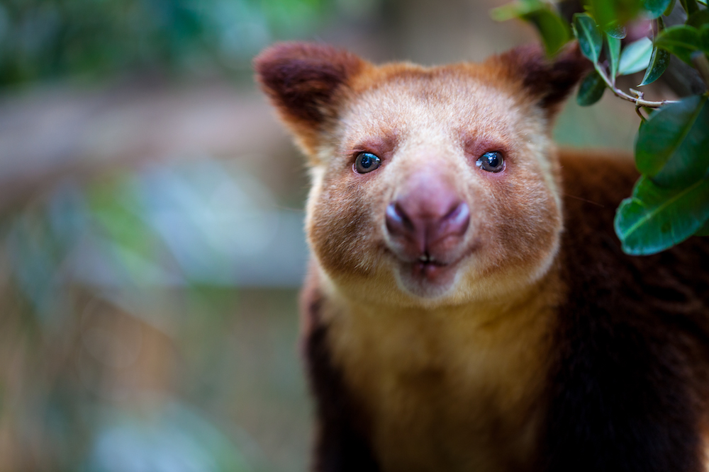 A tree Kangaroo, one of the many incredibly rare species living in PNG's lowland forests. Pictured here at the Melbourne zoo. Photo courtesy of Tom Jefferson/Greenpeace.