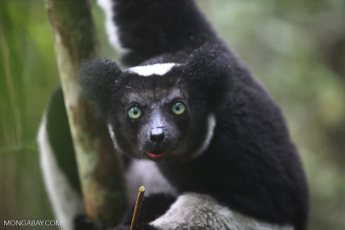 lemurs essay Lemurs are found exclusively on the small island of madagascar, which is located on the coast of africa, and some of the small neighboring islands due to this.