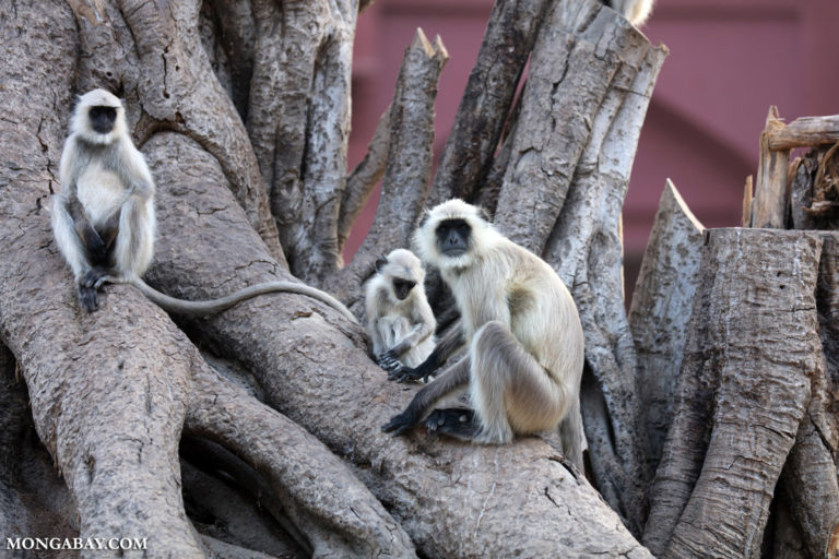 Langurs in India. Photo by Rhett A. Butler.
