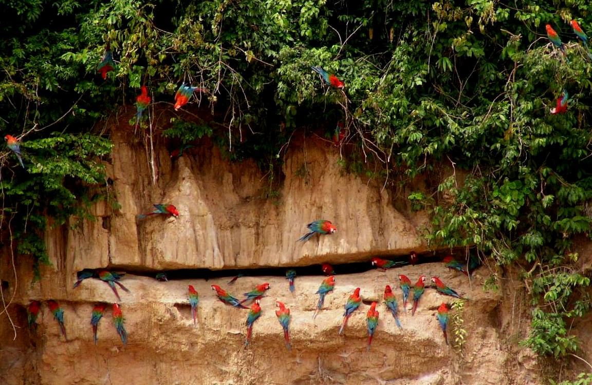 Red and green macaws, major victims of wildlife trafficking, at Las Piedras clay lick in Peru. Photo credit: George Powell.