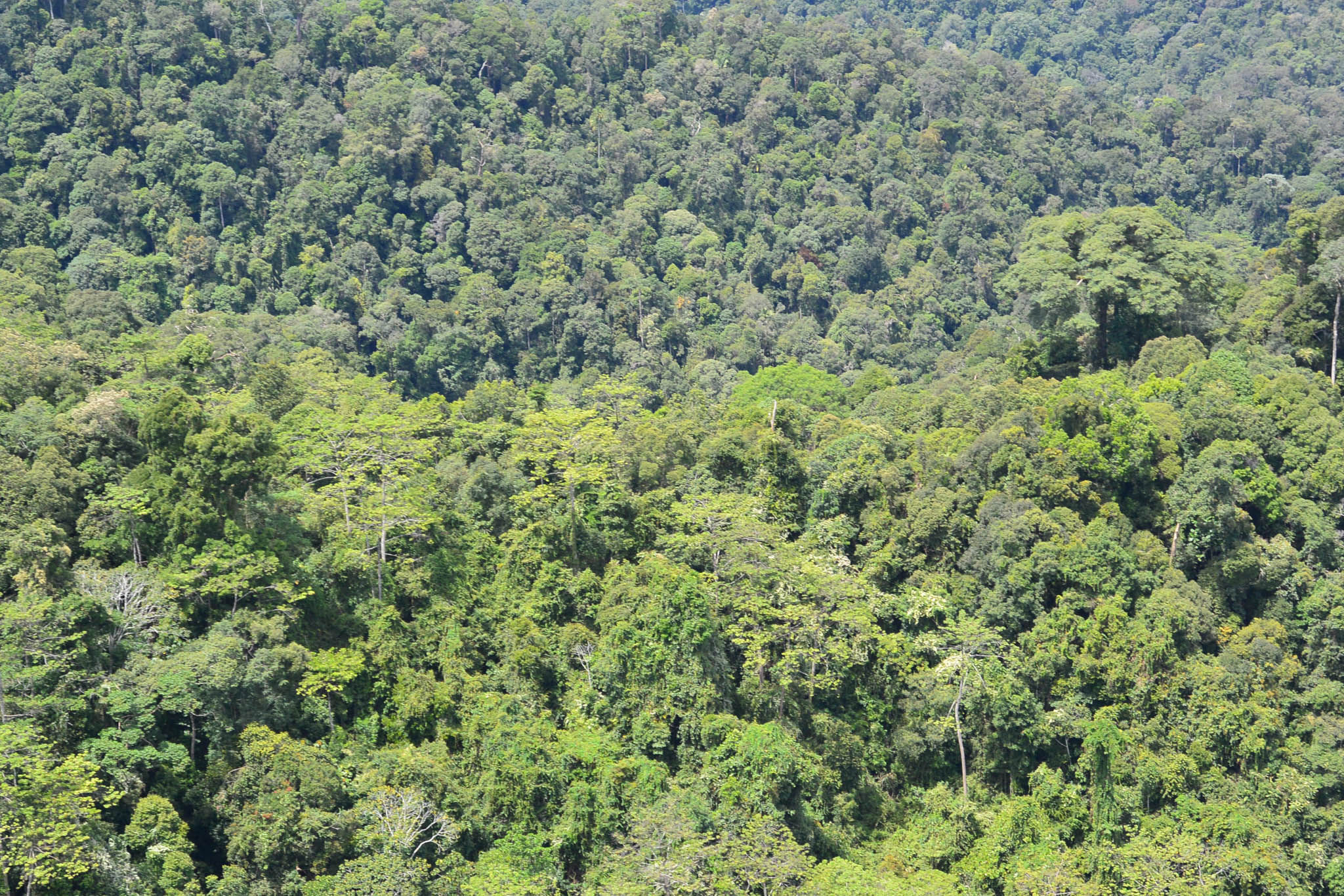 Sabah holds about 1.65 million hectares of intact forest, about the size of the U.S. state of Hawaii. © WWF-Malaysia/STCP