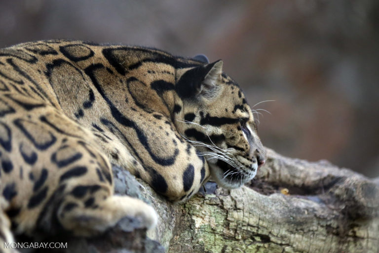 Surveys of FMU5 revealed the presence of the clouded leopard, a vulnerable species according to the International Union for the Conservation of Nature. Photo by Rhett A. Butler