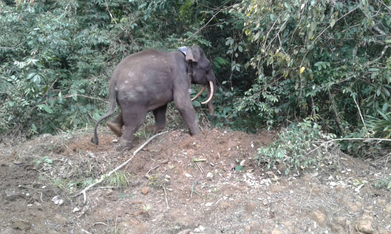 Sabre Released By Wildlife Rescue Unit With A Satellite Collar From Danau Girang Field Centre