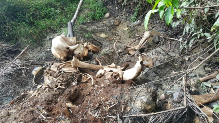 The remains of Sabre found on New Year's Eve. Photo courtesy of Danau Girang Field Centre and Wildlife Rescue Unit.