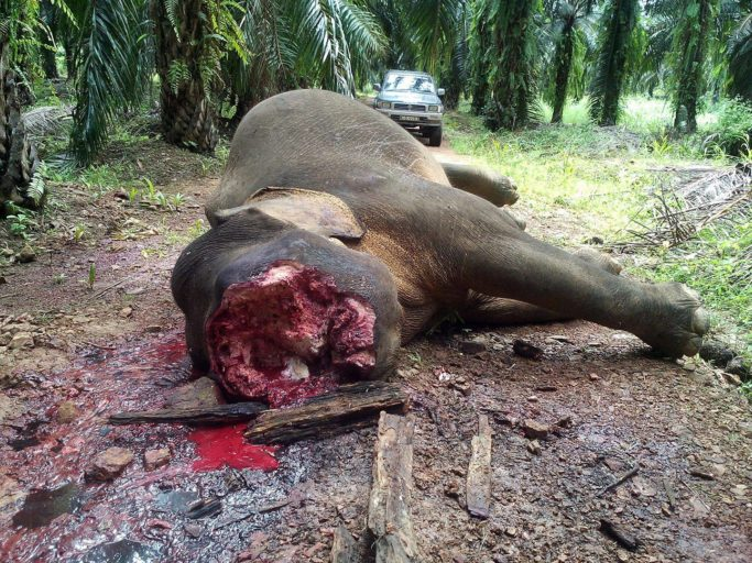The other bull that was murdered more recently, about 1,500 meters from where Sabre was killed. Ivory was also removed. Photo courtesy of Danau Girang Field Centre and Wildlife Rescue Unit.