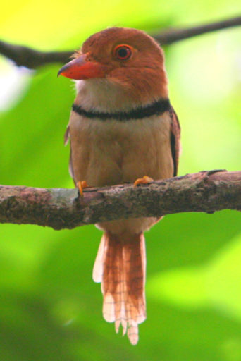A Collared puffbird (Bucco capensis) in the Amazon. The Tapajós Basin is one of the most biodiversity rich places on earth. If the construction of commodies transportation infrastructure proceeds as planned, deforestation will cause much of that richness to vanish. Photo by Jeremy Hance / Mongabay