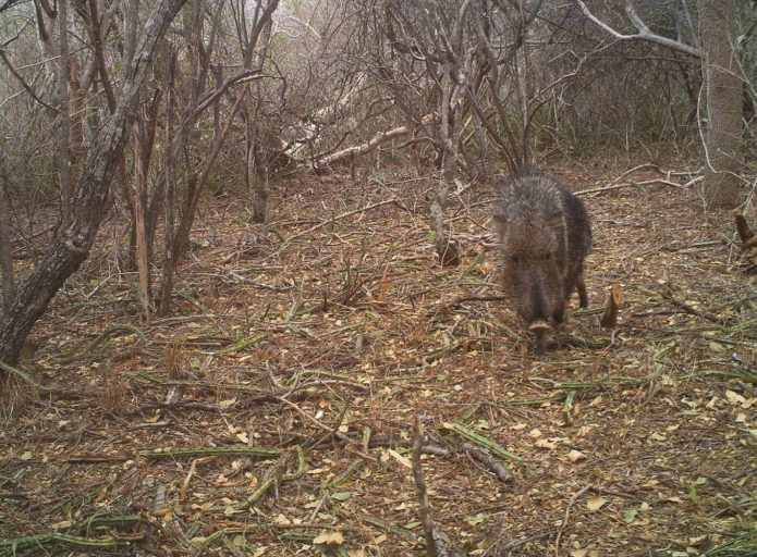A taguá photographed by a camera trap in 2013, Defensores del Chaco National Park, Paraguay. Photo by Silvia Saldívar and Anthony Giordano