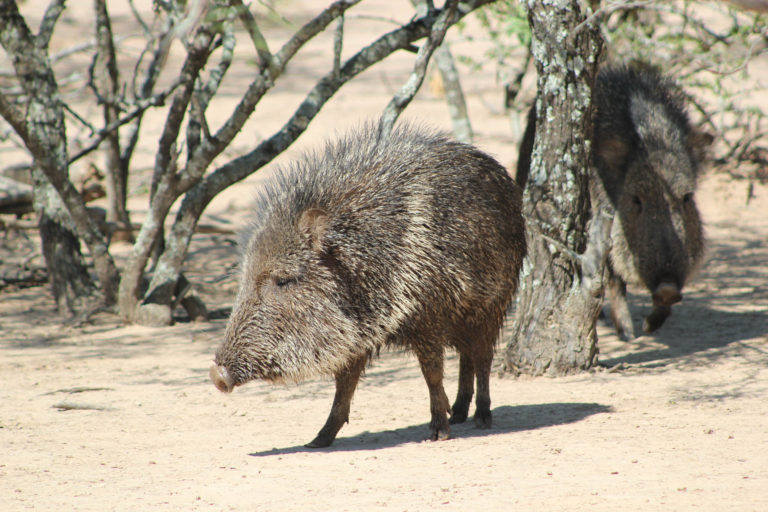 The taguá, or Chacoan peccary, is distantly related to the domestic pig. It is one of three peccary species found in the Chaco and the only one endemic to the area. Photo by Juan Campos