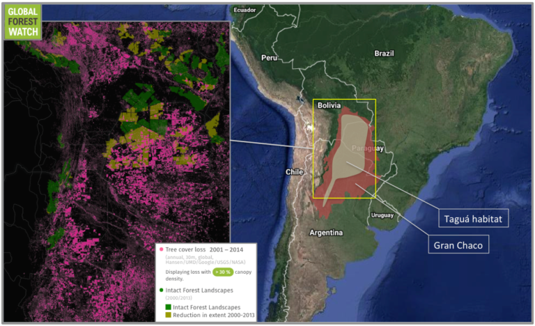 Between 2001 and 2014, the Chaco lost about 8.4 million hectares of tree cover, according to data from the University of Maryland -- more than 14 percent of its total cover. Much of this loss occurred in and around the region's remaining Intact Forest Landscapes (IFLs), which are areas of primary forest that are large and undisturbed enough to retain their original biodiversity levels. In total, the Chaco's IFLs lost around 6.5 percent of their tree cover from 2001 through 2014, and their extent had been reduced to about half by 2013. In other words, Chaco forestland capable of supporting a full complement of wildlife halved in just 13 years. Taguá habitat is a rough approximation based on a 2016 report by the IUCN / SSC Peccary Specialist Group.