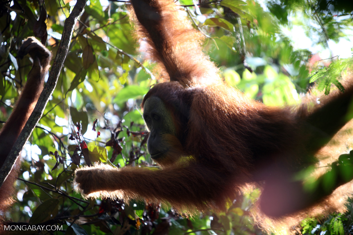 On orangutan swings through the tress in Sumatra's Gunung Leuser National Park. Photo by Rhett A. Butler.