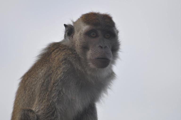 Macaque. Courtesy of Erik Meijaard.