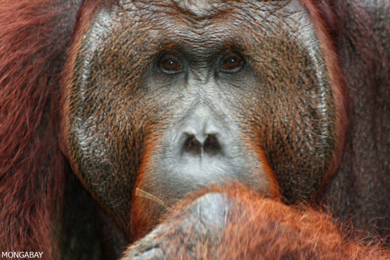 Adult male orangutan in Kalimantan. Photo by Rhett A. Butler.