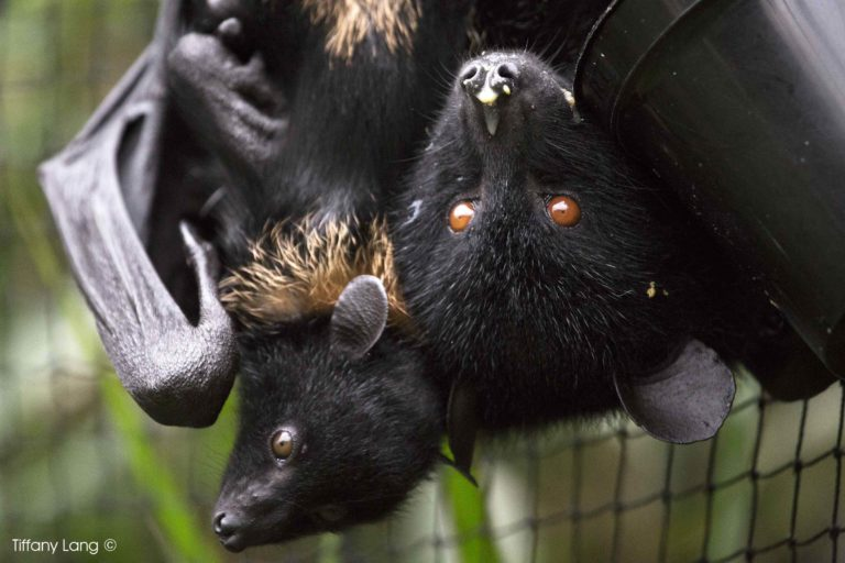 Livingstone's Fruit Bats at Durrell Wildlife Conservation Trust. Photo Credit: Tiffany Lang.