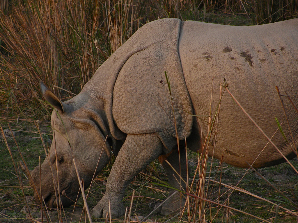 A one-horned rhino grazes in Kaziranga National Park. Habituated to tourists and park rangers, the rhinos make easy prey for poachers. Photo by Satish Krishnamurthy/Flickr/CC BY-SA 2.