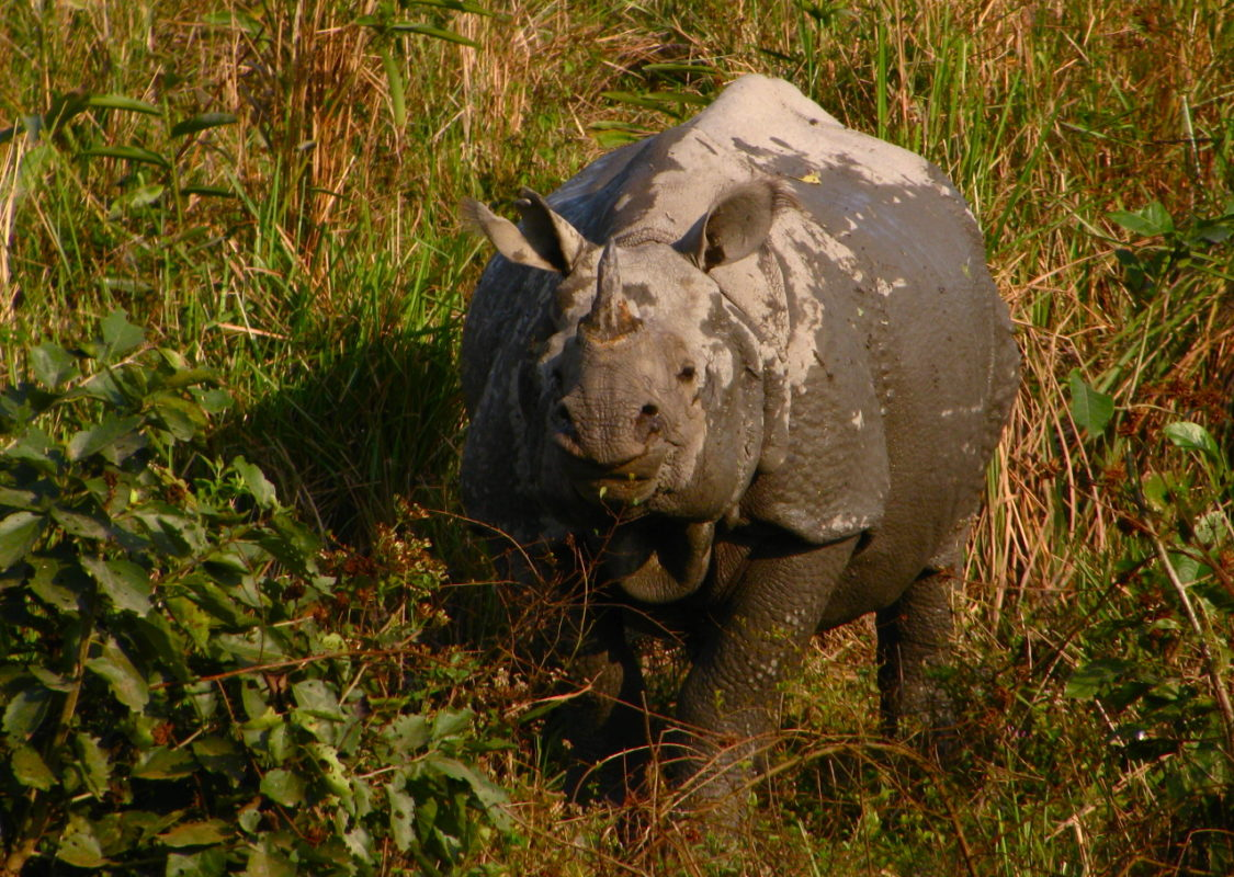 Despite the challenges facing rhinos in Kaziranga National Park, experts are optimistic about the species' future. Photo by Satish Krishnamurthy/Flickr/CC BY-SA 2.