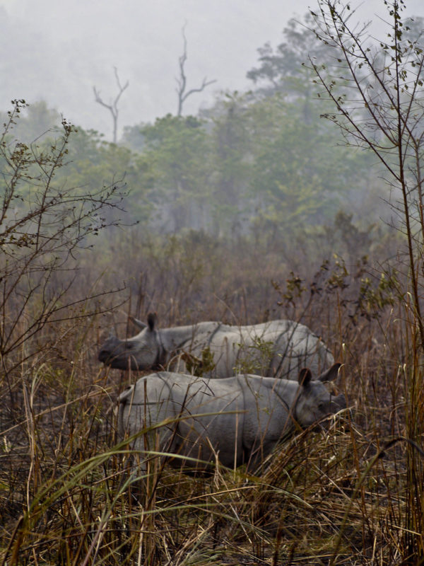 A pair of greater one-horned rhinoceros in Kaziranga National Park, where the species enjoys the highest population density in the world. Photo by Subharnab Majumdar/Flickr/CC BY-SA 2.