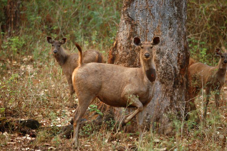 A gang of poachers were recently arrested in India for hunting two sambar deer. Photo by Kalyan Varma.