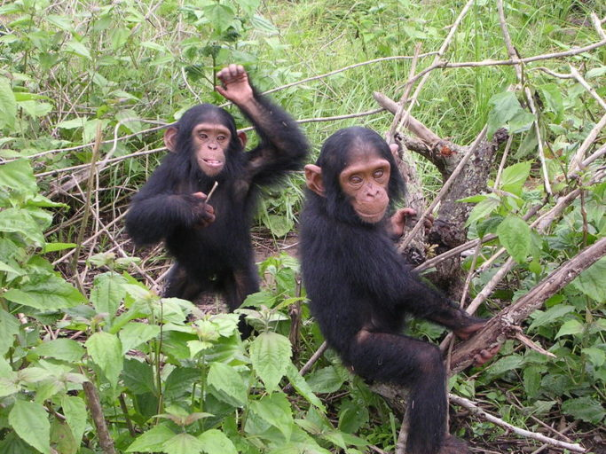 Young chimpanzees like these are often orphaned when their parents are shot for bushmeat and they are seized and trafficked for the pet trade. Photo by Delphine Bruyere licensed under the terms of the GNU Free Documentation License, Version 1.2