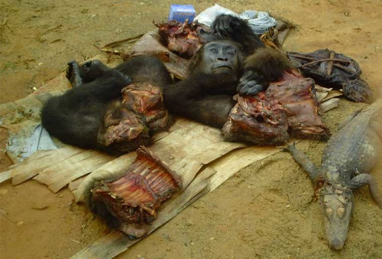 Gorilla heads and parts are often seized alongside other trafficked wildlife. Photo courtesy of LAGA