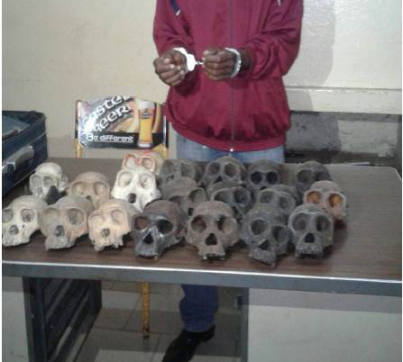 A trafficker arrested in Cameroon's capital city of Yaoundé with 19 great ape skulls. Photo courtesy of LAGA